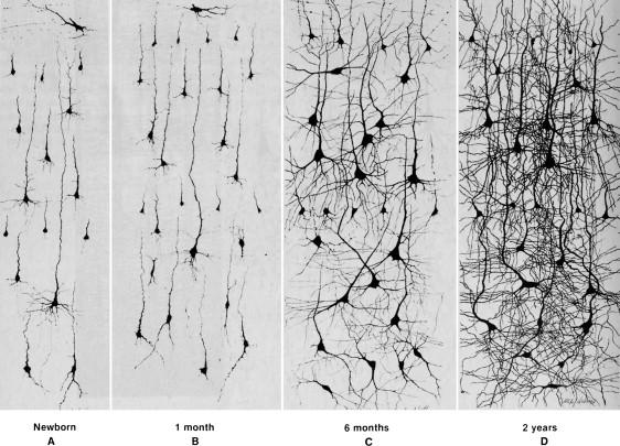 srovnání neuronové sítě od narození